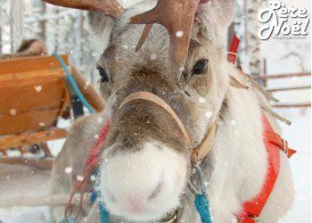 Album Photos : Les rennes du Père Noël